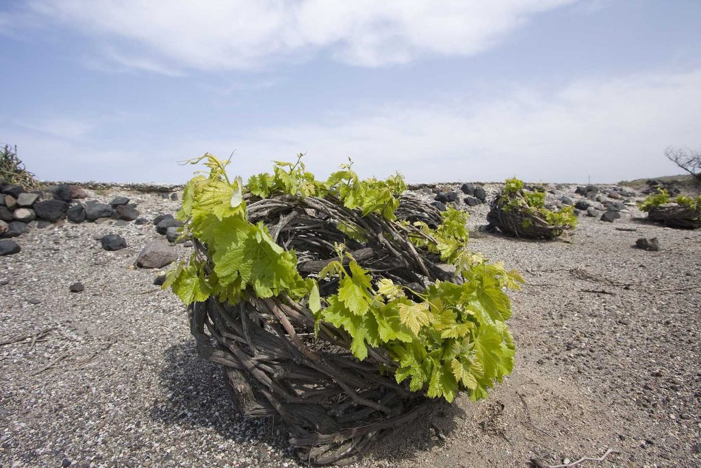 ancient vineyard Santorini | Aeifos Traditonal Houses